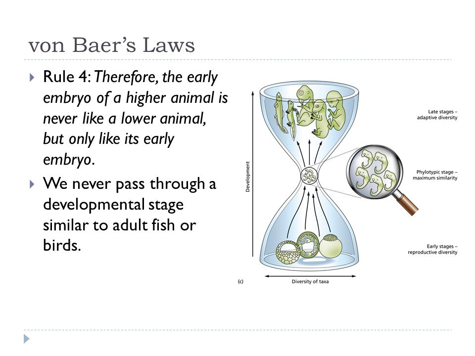 von Baer's Laws  Rule 4: Therefore, the early embryo of a higher animal is never like a lower animal, but only like its early embryo.  We never pass