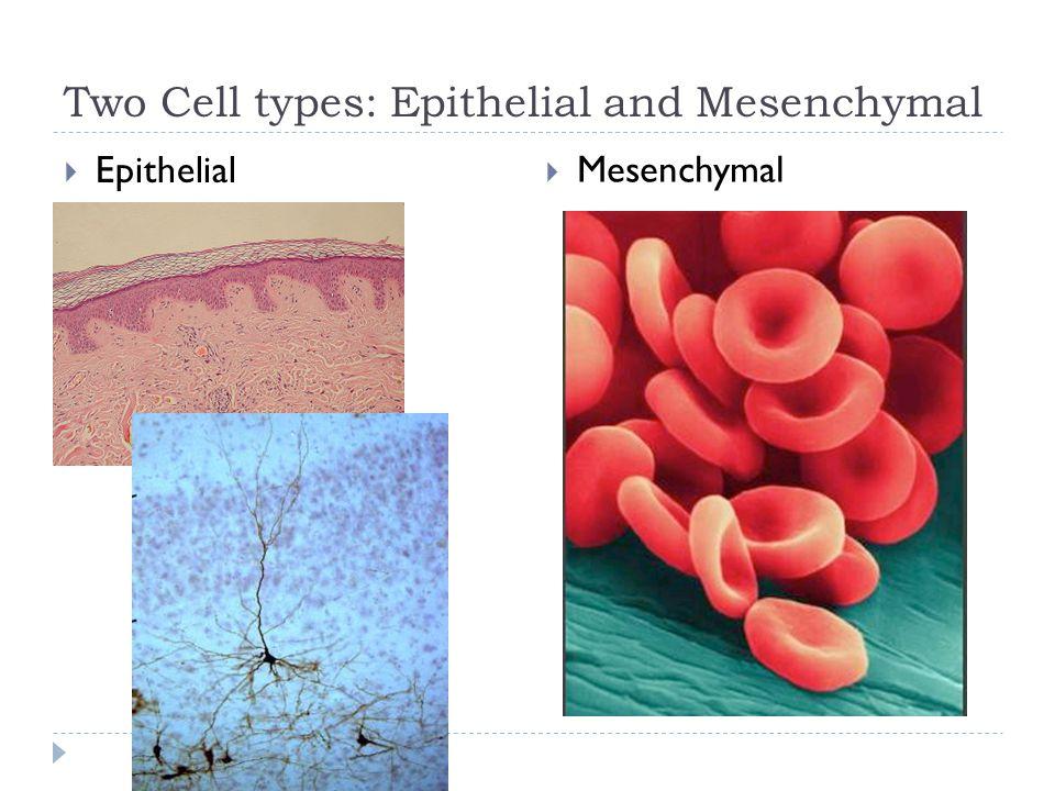 Two Cell types: Epithelial and Mesenchymal  Epithelial  Mesenchymal