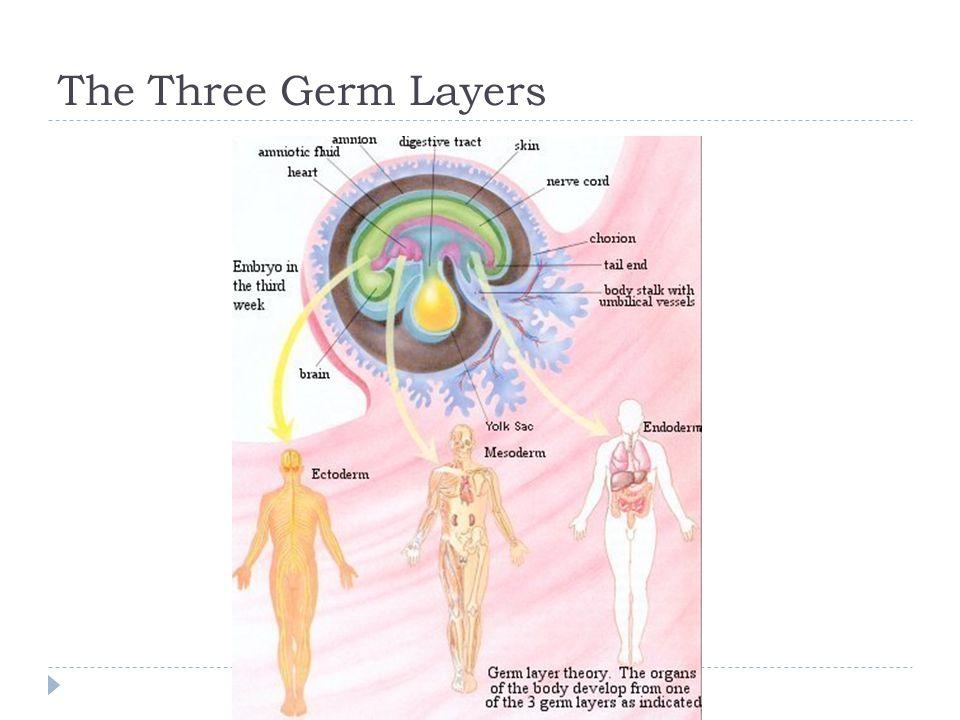 The Three Germ Layers