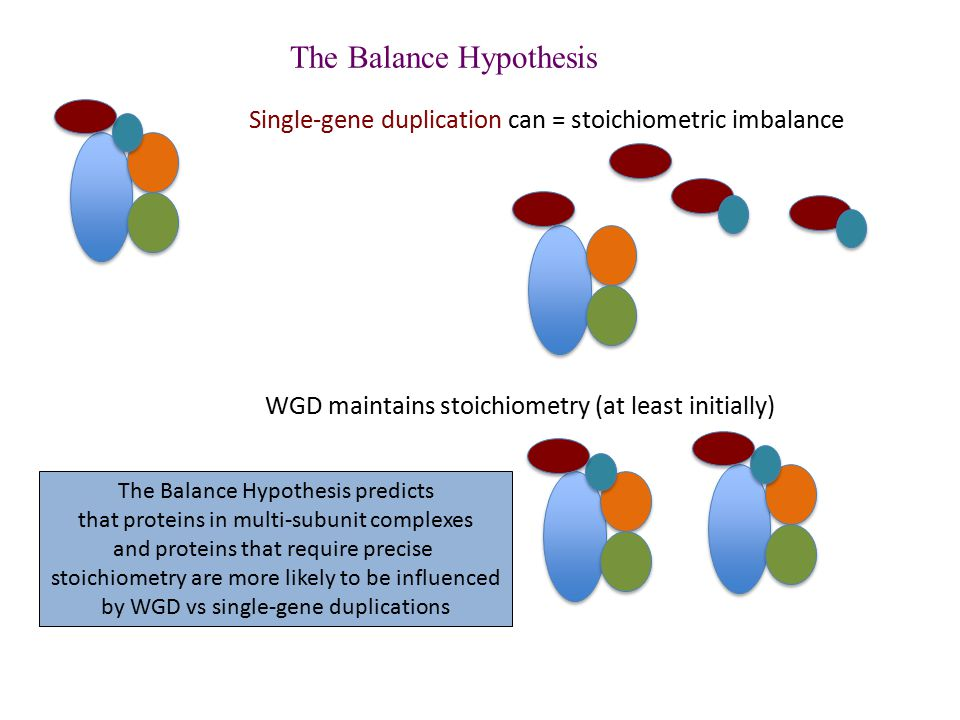 The Balance Hypothesis Single-gene duplication can = stoichiometric imbalance WGD maintains stoichiometry (at least initially) The Balance Hypothesis