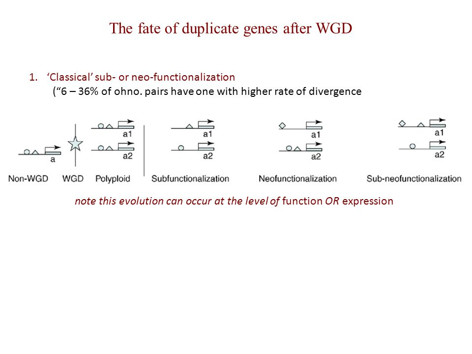 "The fate of duplicate genes after WGD 1.'Classical' sub- or neo-functionalization (""6 – 36% of ohno. pairs have one with higher rate of divergence not"