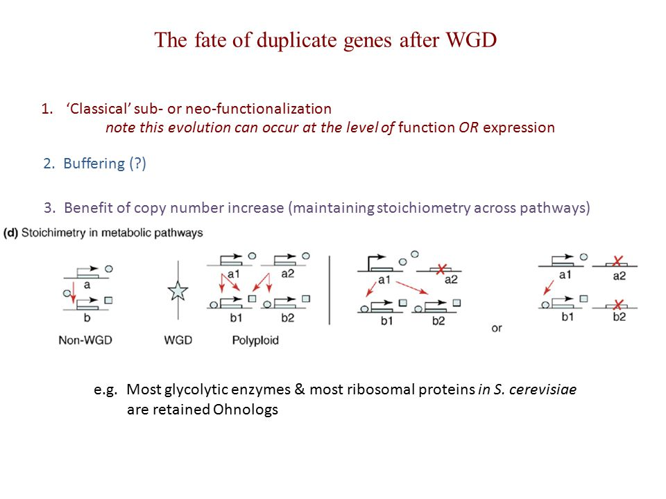 2. Buffering (?) note this evolution can occur at the level of function OR expression 1.'Classical' sub- or neo-functionalization The fate of duplicat