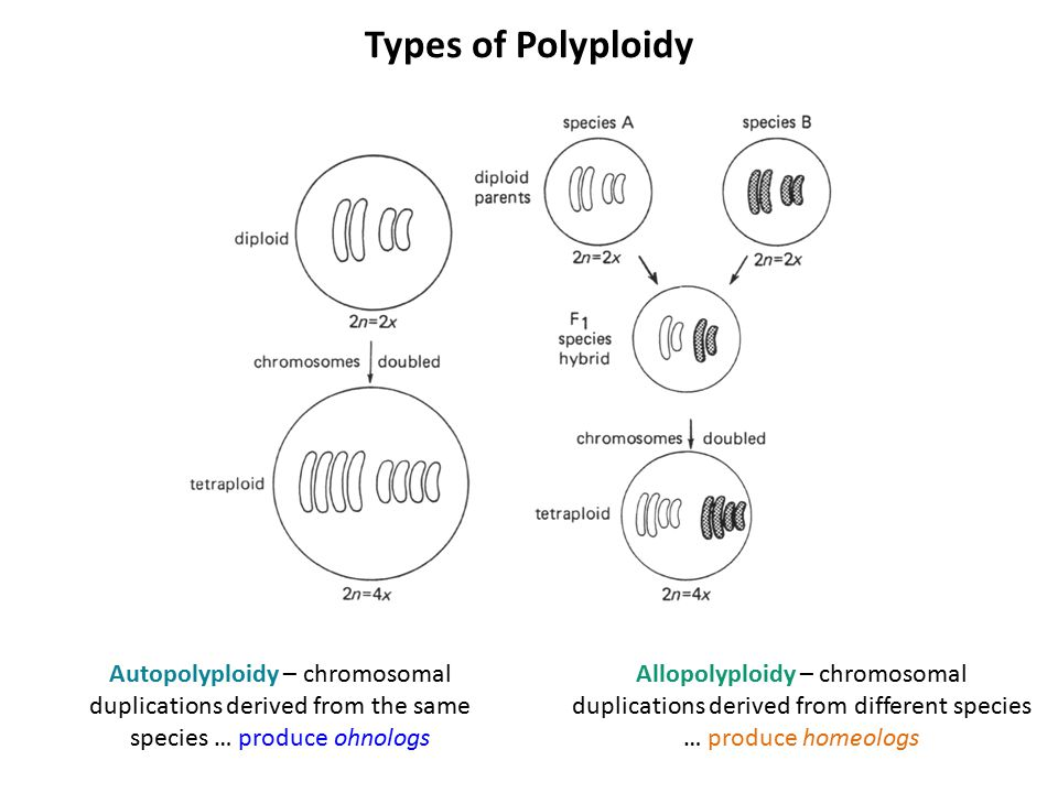 Types of Polyploidy Allopolyploidy – chromosomal duplications derived from different species … produce homeologs Autopolyploidy – chromosomal duplicat