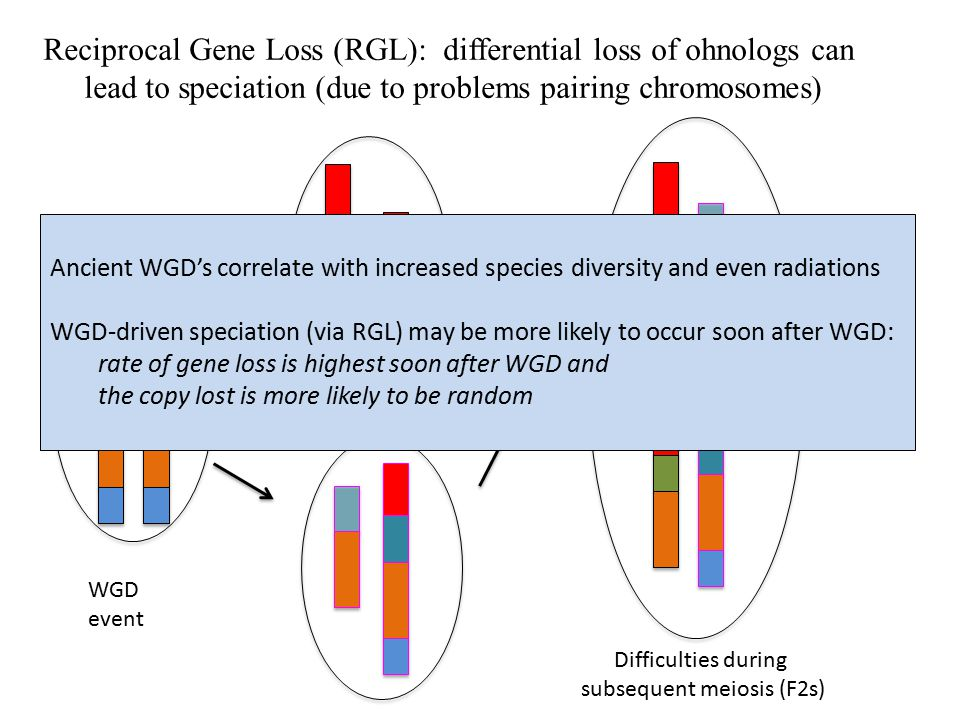 The costs & benefits of WGD Costs: Doubles the DNA content and chromosome number More DNA = larger cells, larger volume, more proteins required Benefits: Doubles whole pathways of functionally related genes Maintains balanced expression across the genome