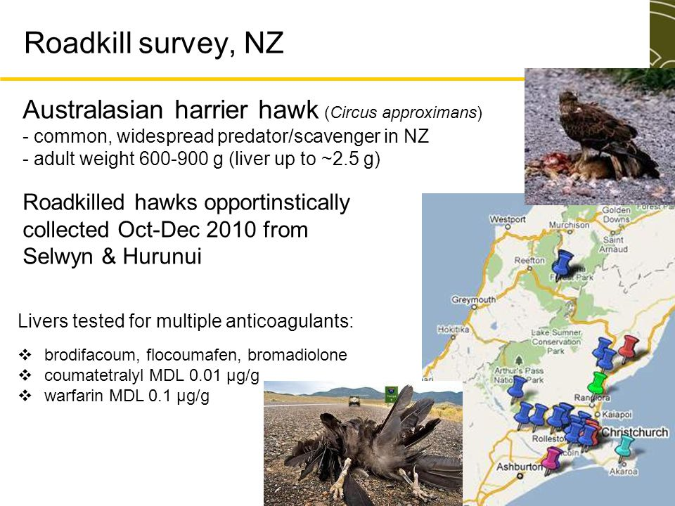 Roadkill survey, NZ Roadkilled hawks opportinstically collected Oct-Dec 2010 from Selwyn & Hurunui Australasian harrier hawk (Circus approximans) - co