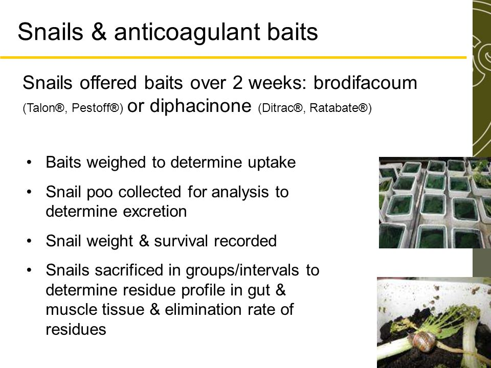 Snails & anticoagulant baits Snails offered baits over 2 weeks: brodifacoum (Talon®, Pestoff®) or diphacinone (Ditrac®, Ratabate®) Baits weighed to determine uptake Snail poo collected for analysis to determine excretion Snail weight & survival recorded Snails sacrificed in groups/intervals to determine residue profile in gut & muscle tissue & elimination rate of residues