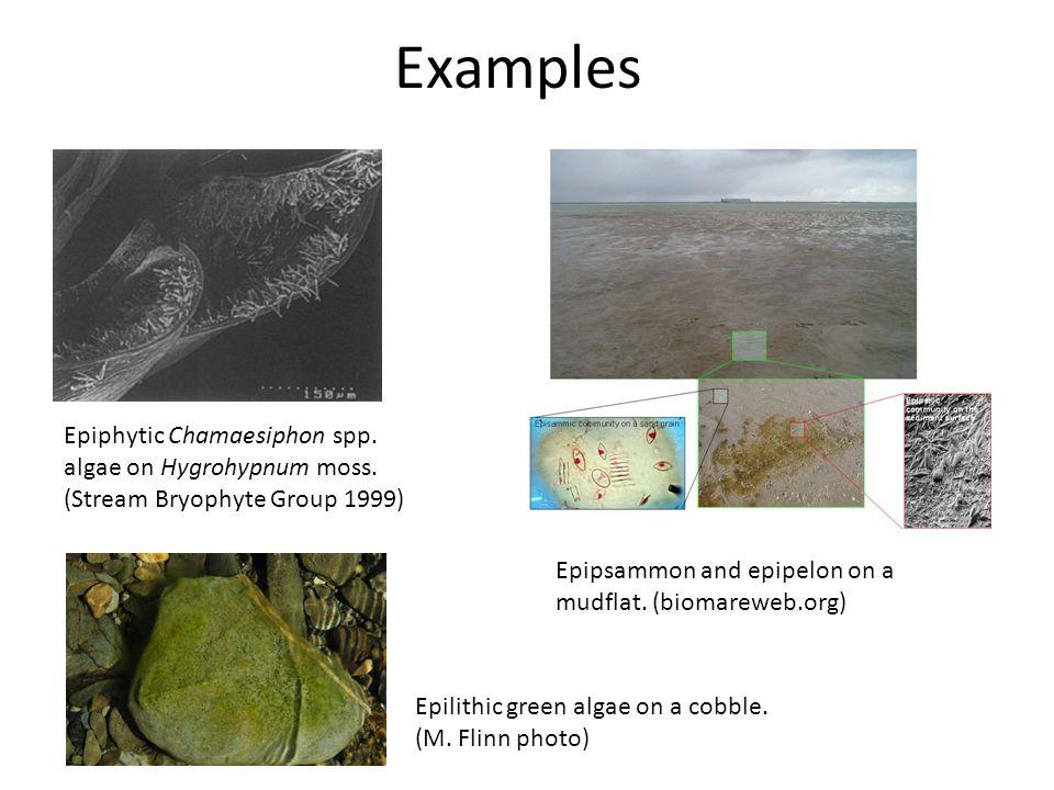 Examples Epiphytic Chamaesiphon spp. algae on Hygrohypnum moss.