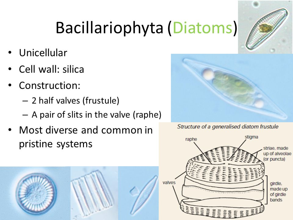 Bacillariophyta (Diatoms) Unicellular Cell wall: silica Construction: – 2 half valves (frustule) – A pair of slits in the valve (raphe) Most diverse and common in pristine systems