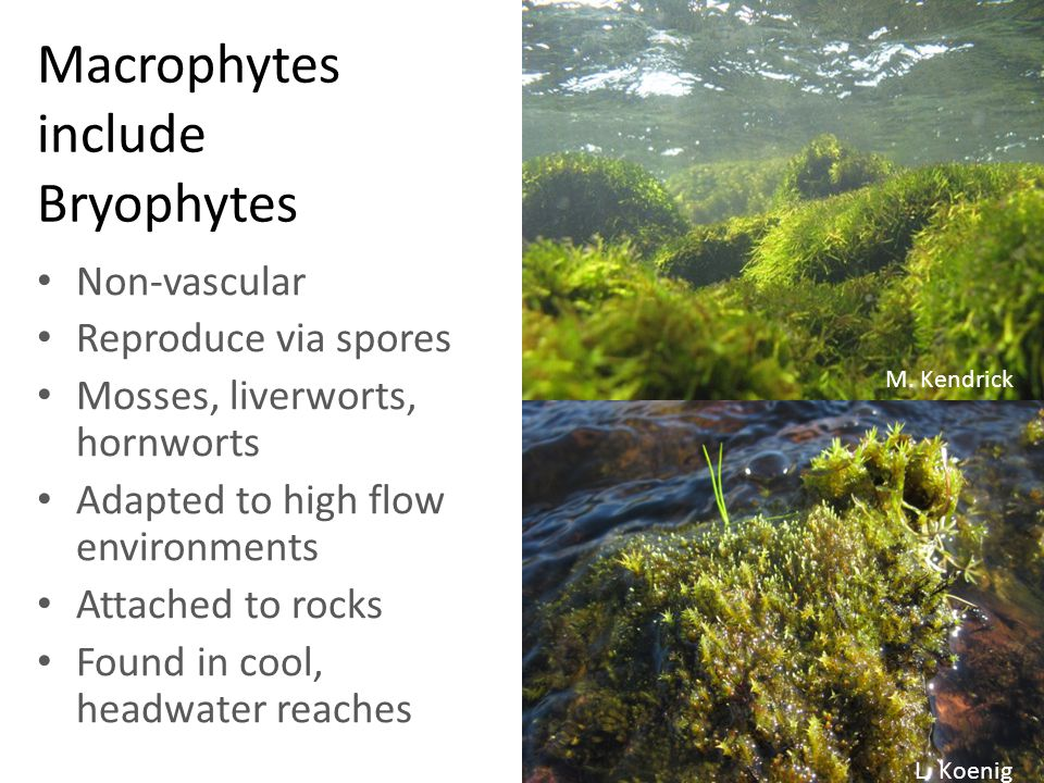Macrophytes include Bryophytes Non-vascular Reproduce via spores Mosses, liverworts, hornworts Adapted to high flow environments Attached to rocks Found in cool, headwater reaches M.