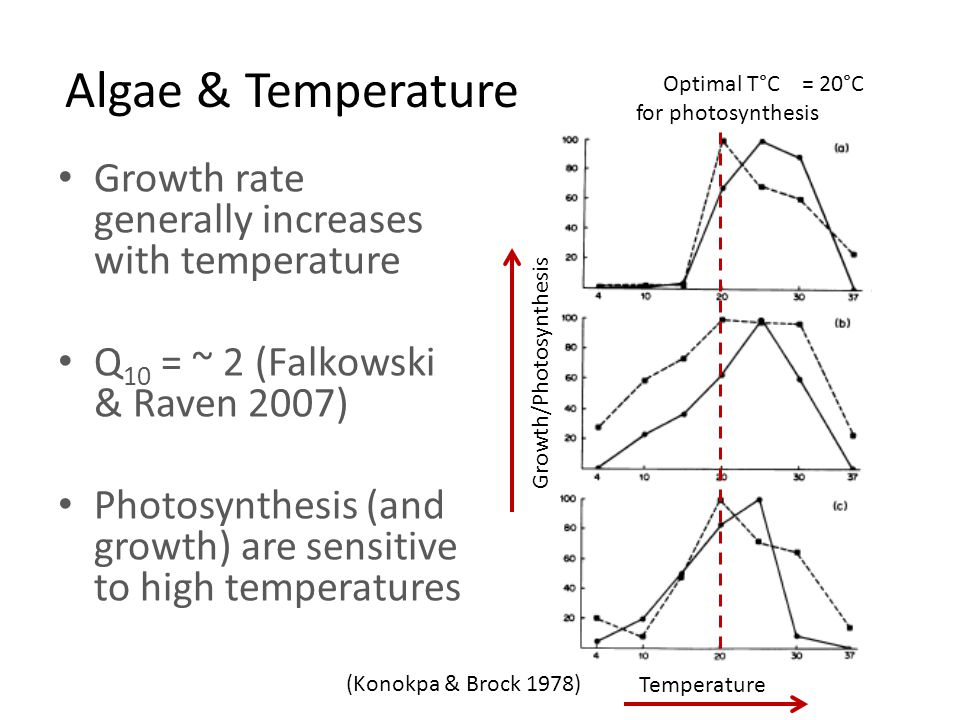 Algae & Temperature Growth rate generally increases with temperature Q 10 = ~ 2 (Falkowski & Raven 2007) Photosynthesis (and growth) are sensitive to high temperatures Temperature Growth/Photosynthesis Optimal T°C = 20°C for photosynthesis (Konokpa & Brock 1978)