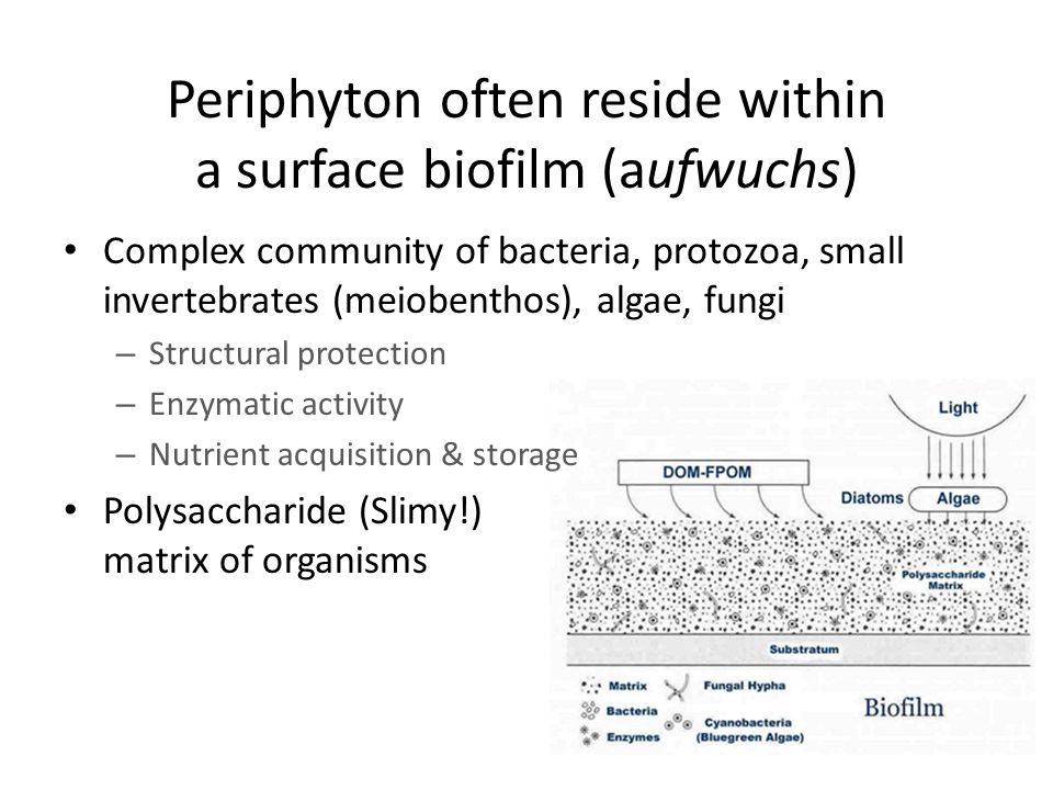 Mostly motile cells with flagella Includes some filamentous and sheet-like forms More commonly found in lakes than streams Contains the pigment fucoxanthin Derived from a non-photosynthesizing ancestor Chrysophyta (yellow-brown algae) Hyalobryon