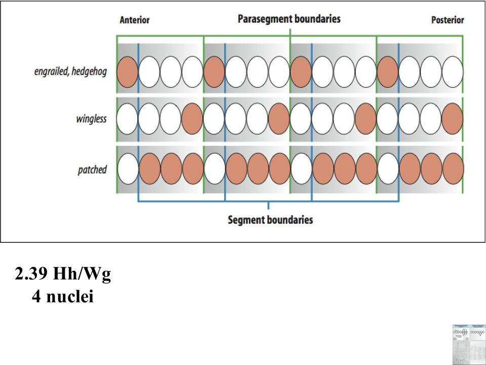 2.39 Hh/Wg 4 nuclei