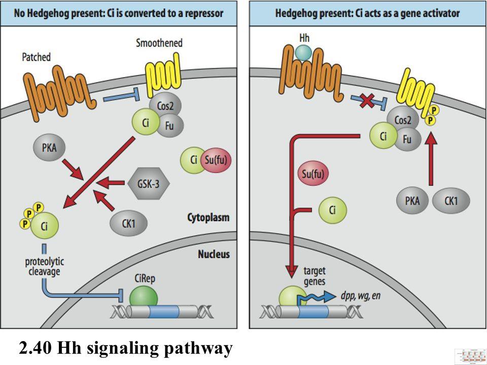 2.40 Hh signaling pathway