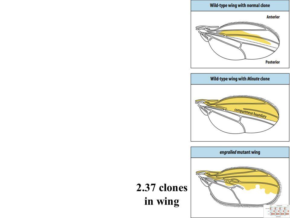 2.37 clones in wing