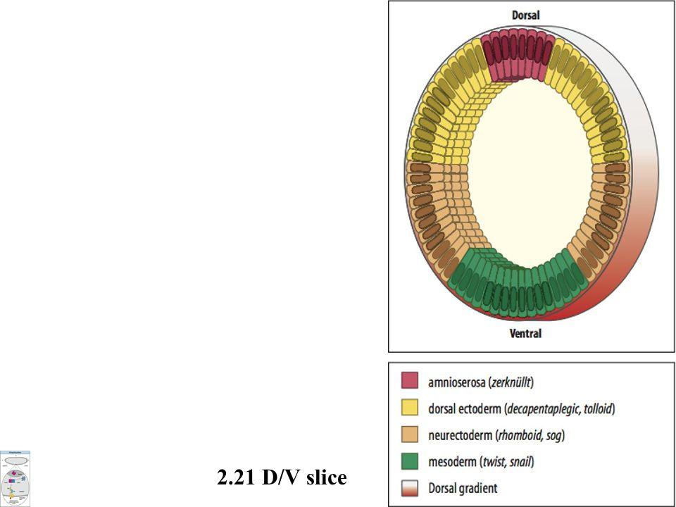2.21 D/V slice