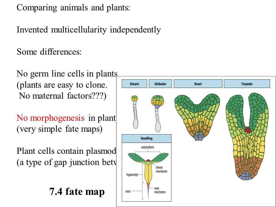Comparing animals and plants: Invented multicellularity independently Some differences: No germ line cells in plants (plants are easy to clone. No mat
