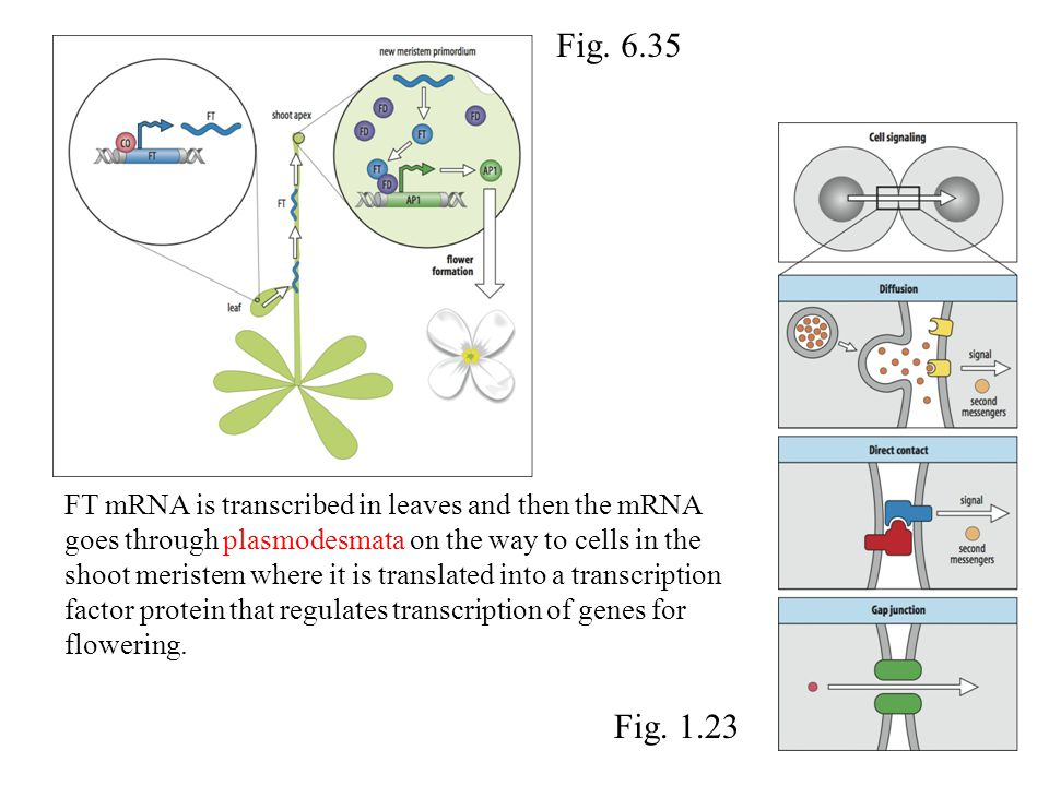 FT mRNA is transcribed in leaves and then the mRNA goes through plasmodesmata on the way to cells in the shoot meristem where it is translated into a transcription factor protein that regulates transcription of genes for flowering.