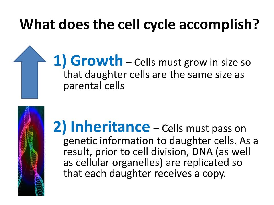 What does the cell cycle accomplish.