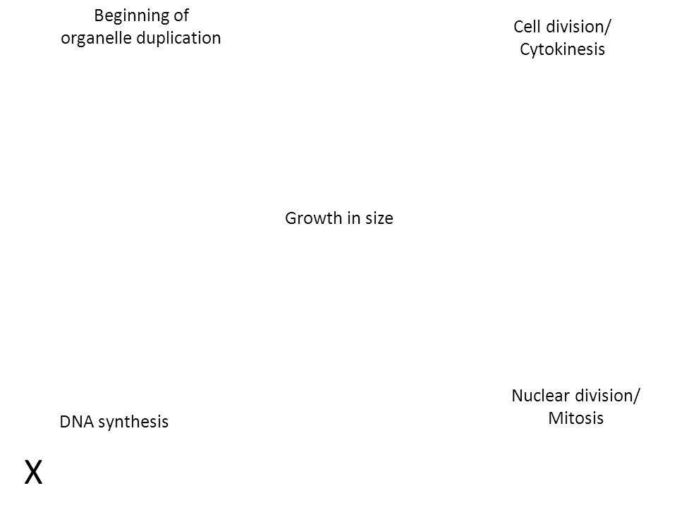 Beginning of organelle duplication Growth in size DNA synthesis Nuclear division/ Mitosis Cell division/ Cytokinesis X