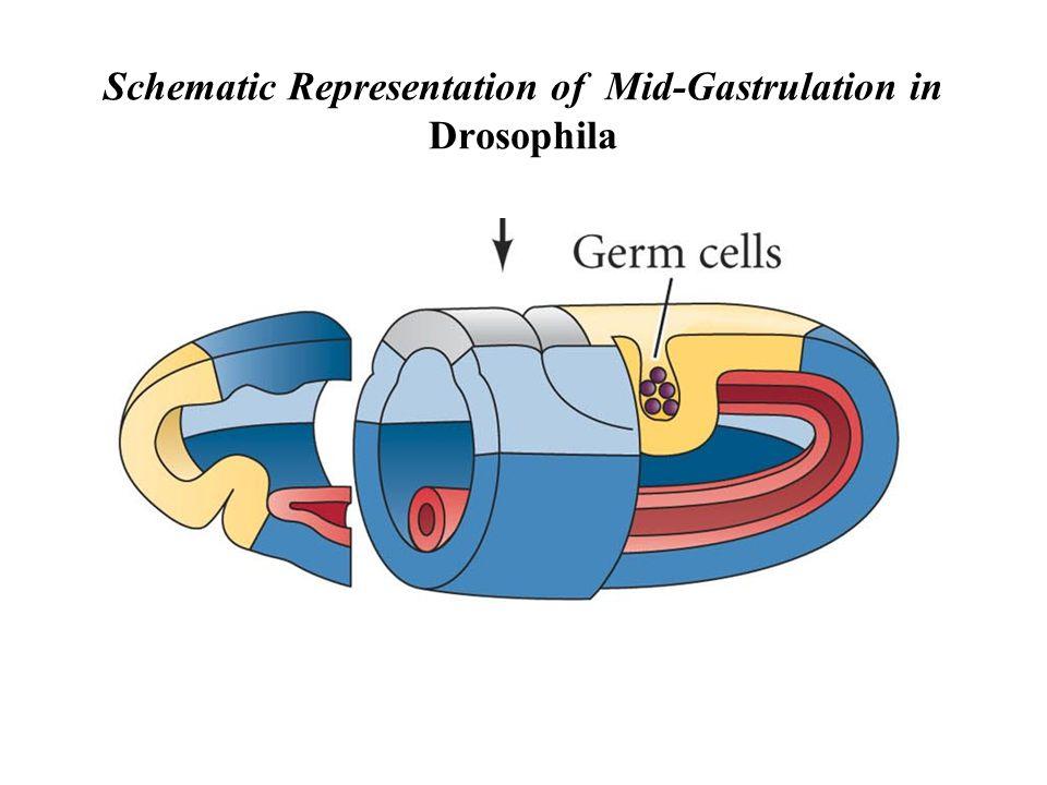 Schematic Representation of Mid-Gastrulation in Drosophila