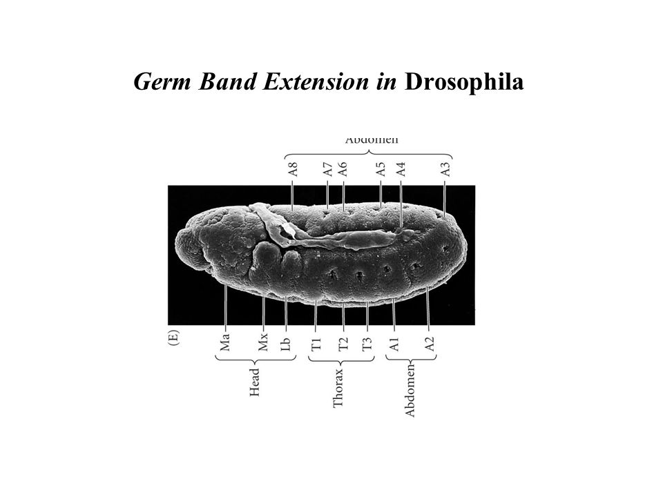 Germ Band Extension in Drosophila