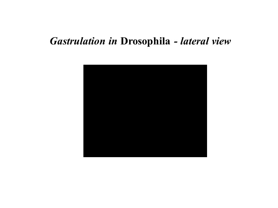 Gastrulation in Drosophila - lateral view