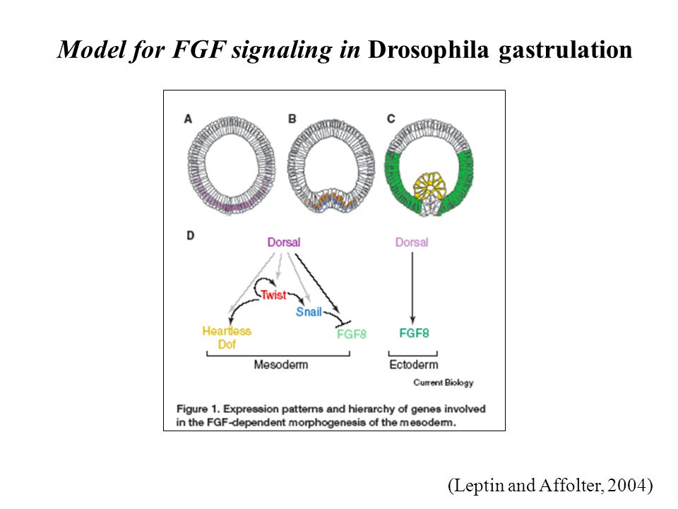 (Leptin and Affolter, 2004) Model for FGF signaling in Drosophila gastrulation