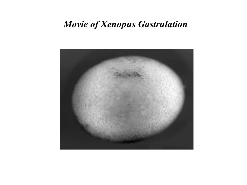 Movie of Xenopus Gastrulation