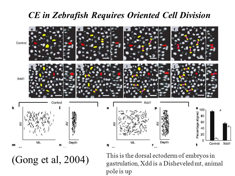 CE in Zebrafish Requires Oriented Cell Division (Gong et al, 2004) This is the dorsal ectoderm of embryos in gastrulation, Xdd is a Disheveled mt, animal pole is up