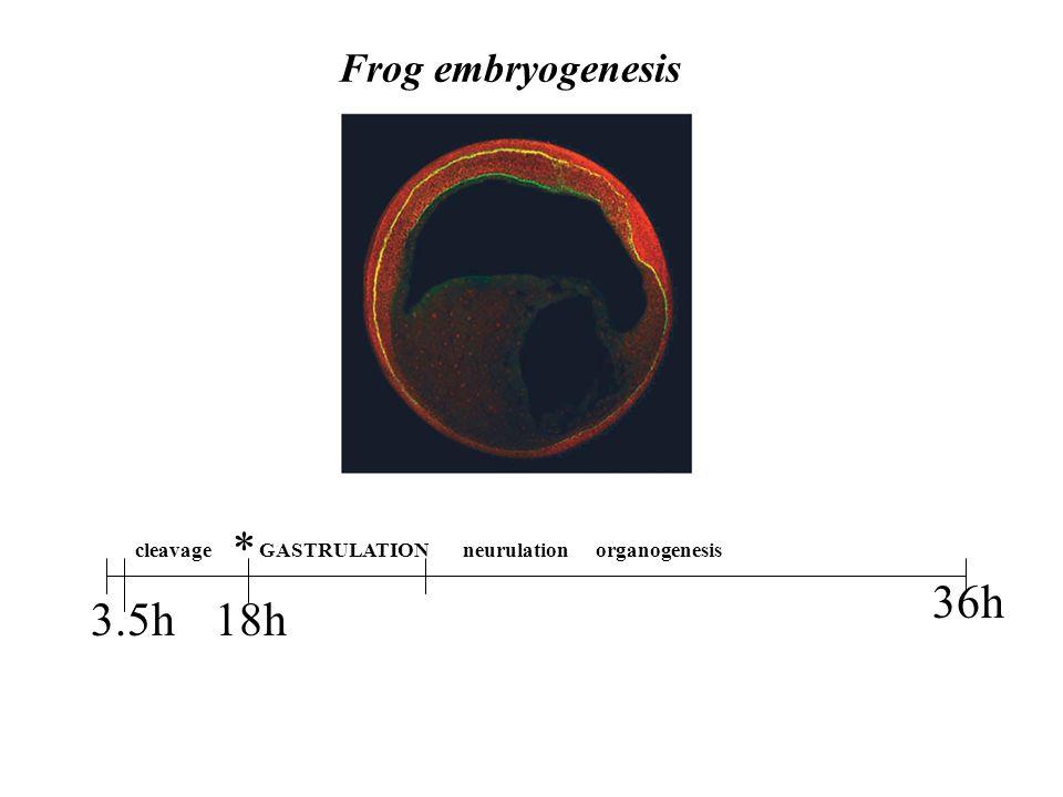 Frog embryogenesis 36h 18h3.5h cleavageGASTRULATIONneurulation * organogenesis