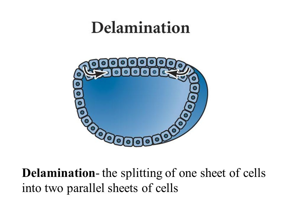 Delamination- the splitting of one sheet of cells into two parallel sheets of cells