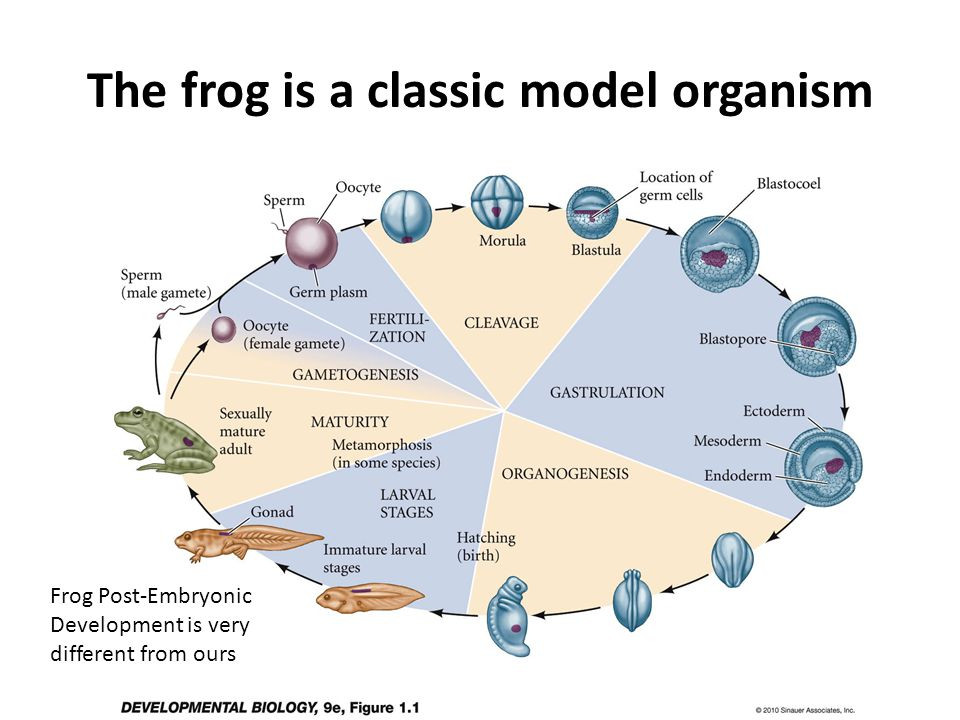 The frog is a classic model organism Frog Post-Embryonic Development is very different from ours