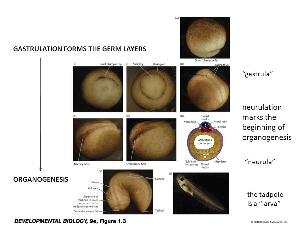 GASTRULATION FORMS THE GERM LAYERS ORGANOGENESIS neurulation marks the beginning of organogenesis gastrula neurula the tadpole is a larva