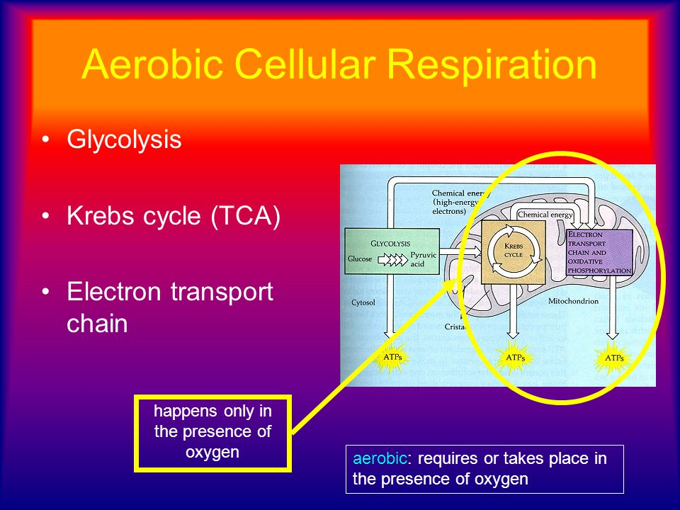 Aerobic Cellular Respiration Glycolysis Krebs cycle (TCA) Electron transport chain happens only in the presence of oxygen aerobic: requires or takes p