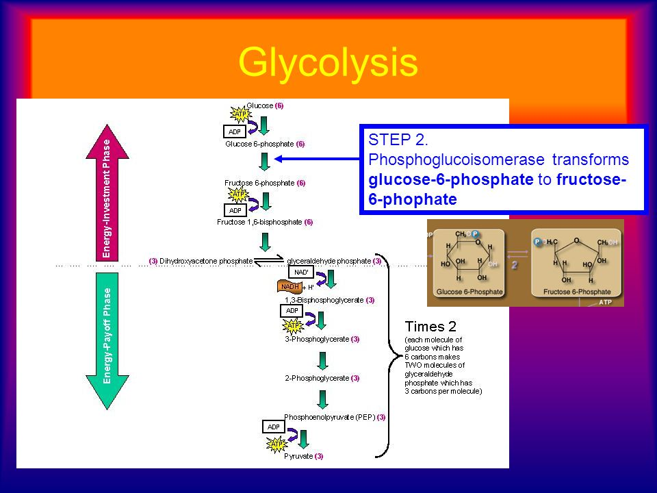 Glycolysis STEP 2. Phosphoglucoisomerase transforms glucose-6-phosphate to fructose- 6-phophate