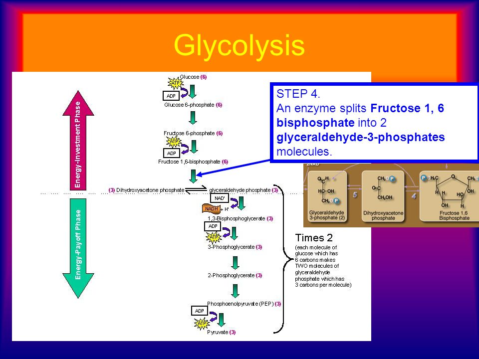 Glycolysis STEP 4. An enzyme splits Fructose 1, 6 bisphosphate into 2 glyceraldehyde-3-phosphates molecules.
