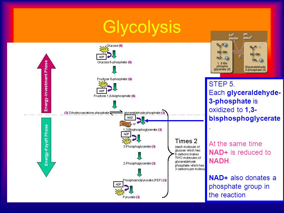 Glycolysis STEP 5. Each glyceraldehyde- 3-phosphate is oxidized to 1,3- bisphosphoglycerate. At the same time NAD+ is reduced to NADH. NAD+ also donat