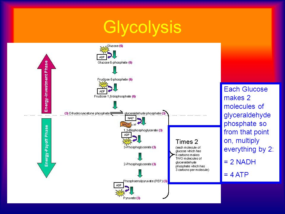 Glycolysis Each Glucose makes 2 molecules of glyceraldehyde phosphate so from that point on, multiply everything by 2: = 2 NADH = 4 ATP