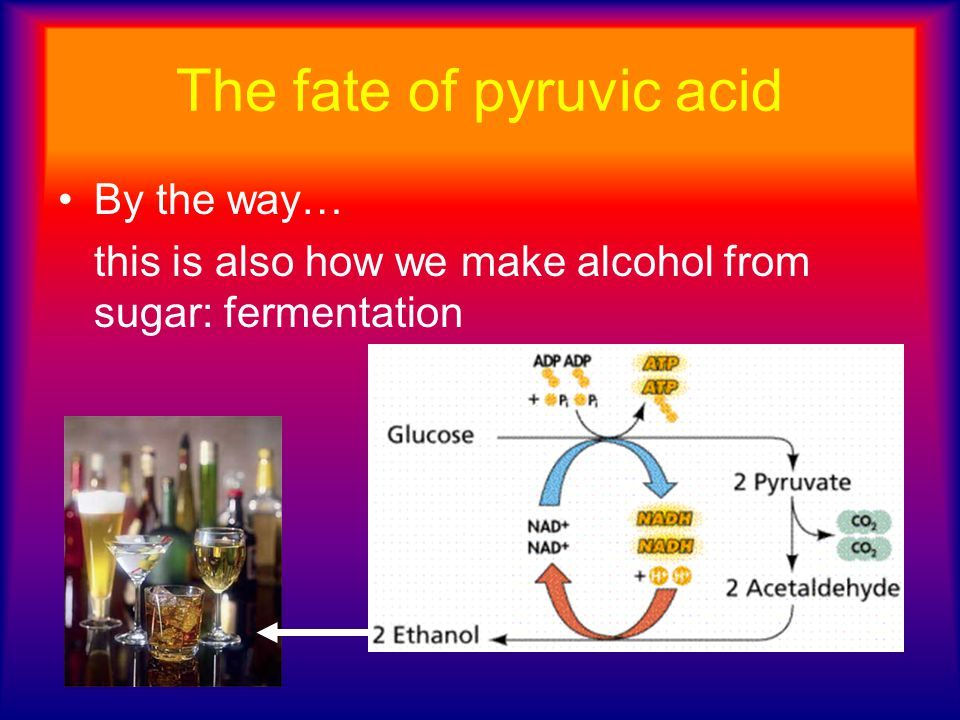The fate of pyruvic acid By the way… this is also how we make alcohol from sugar: fermentation