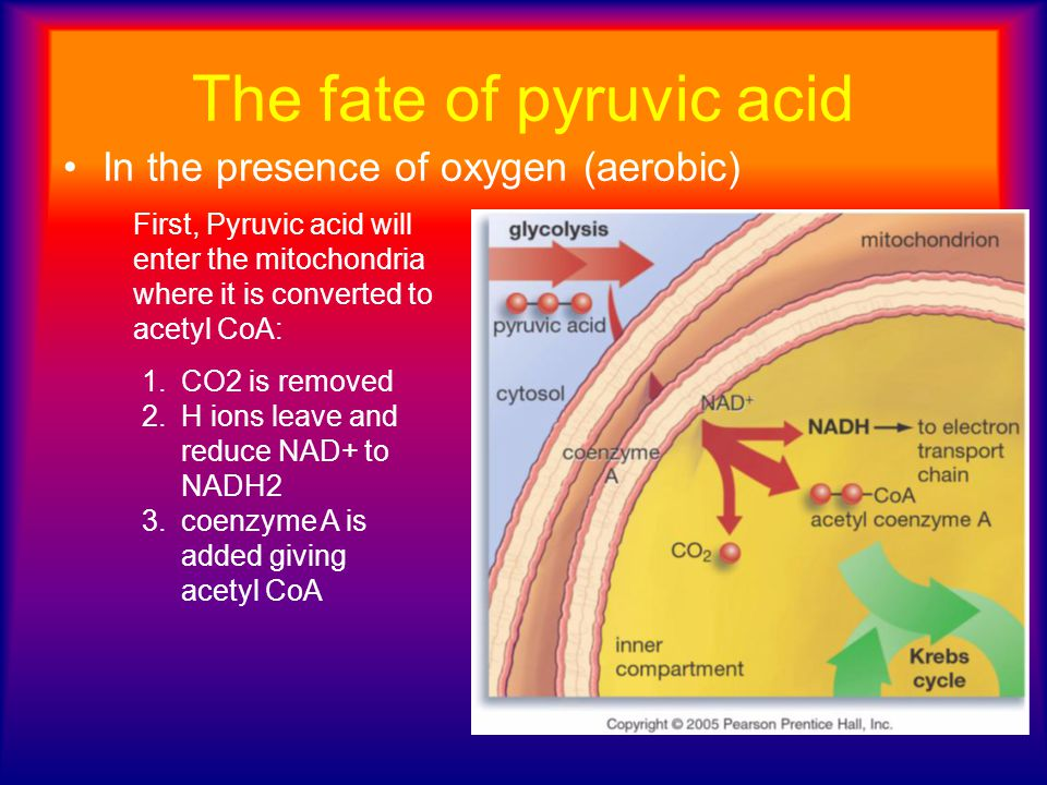 The fate of pyruvic acid In the presence of oxygen (aerobic) 1.CO2 is removed 2.H ions leave and reduce NAD+ to NADH2 3.coenzyme A is added giving ace