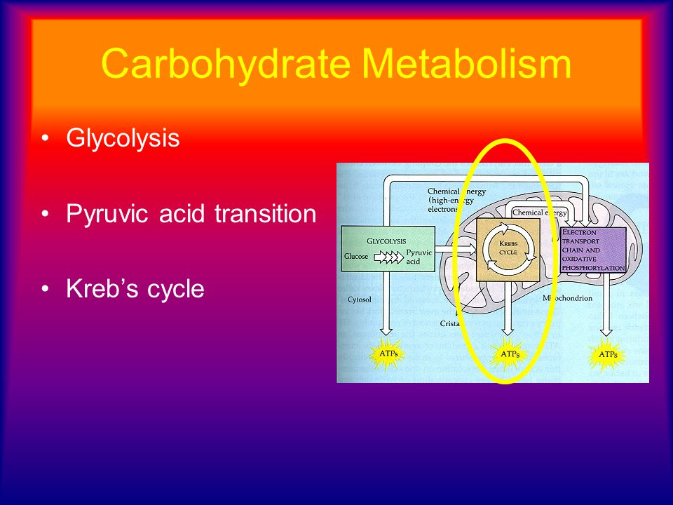 Carbohydrate Metabolism Glycolysis Pyruvic acid transition Kreb's cycle