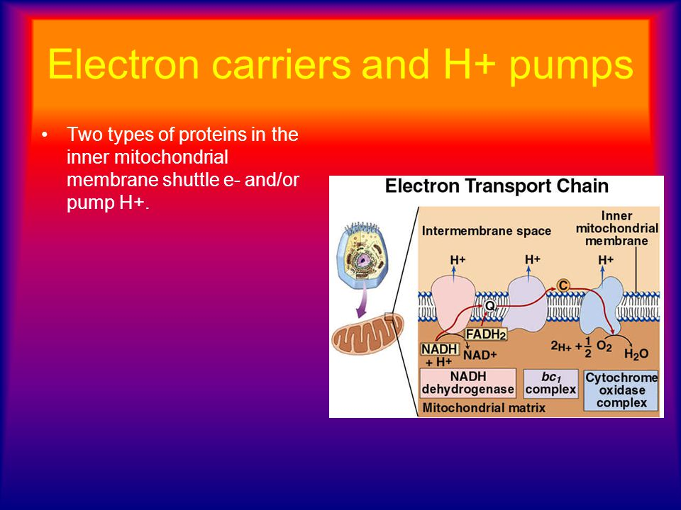 Electron carriers and H+ pumps Two types of proteins in the inner mitochondrial membrane shuttle e- and/or pump H+.