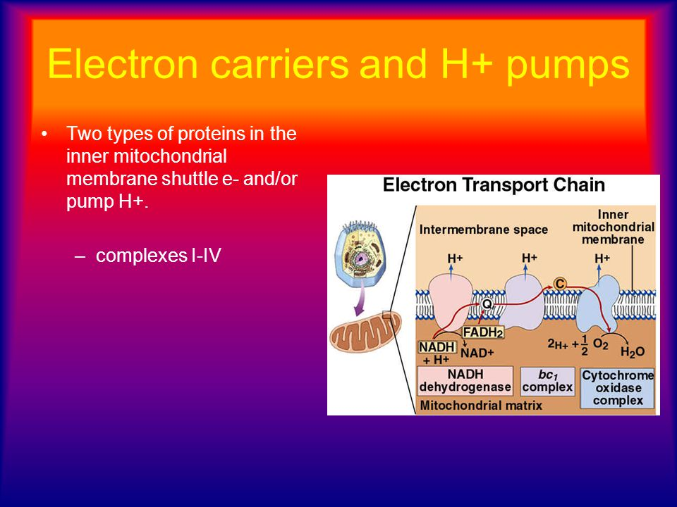 Electron carriers and H+ pumps Two types of proteins in the inner mitochondrial membrane shuttle e- and/or pump H+. –complexes I-IV