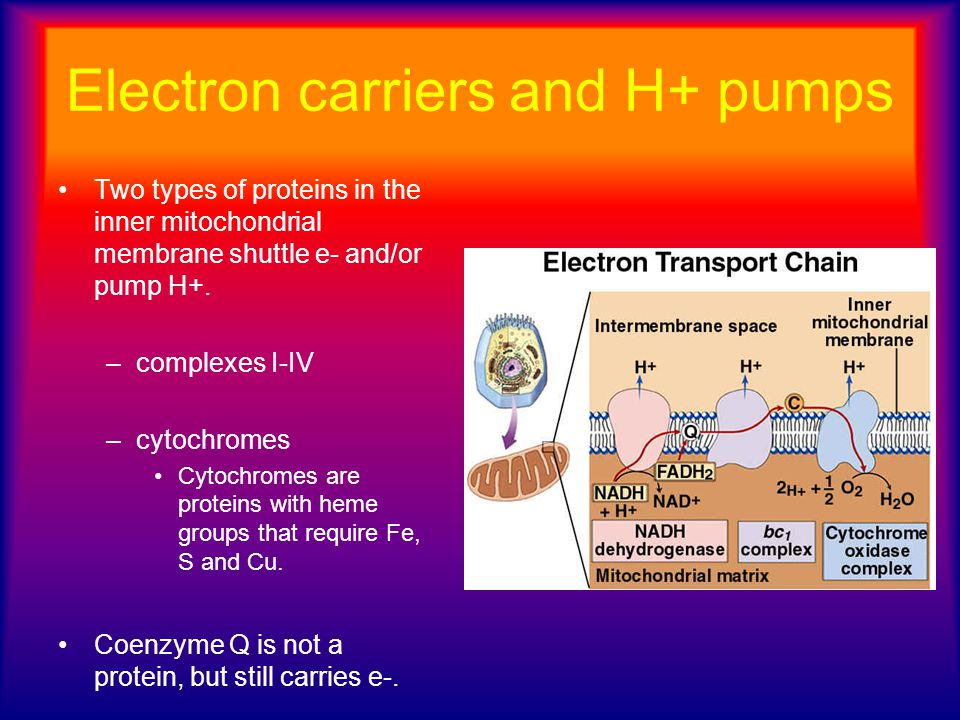 Electron carriers and H+ pumps Two types of proteins in the inner mitochondrial membrane shuttle e- and/or pump H+. –complexes I-IV –cytochromes Cytoc