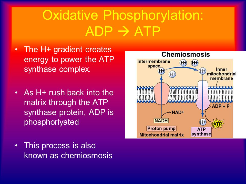 Oxidative Phosphorylation: ADP  ATP The H+ gradient creates energy to power the ATP synthase complex. As H+ rush back into the matrix through the ATP
