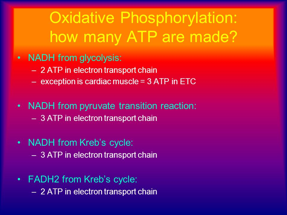 Oxidative Phosphorylation: how many ATP are made? NADH from glycolysis: –2 ATP in electron transport chain –exception is cardiac muscle = 3 ATP in ETC