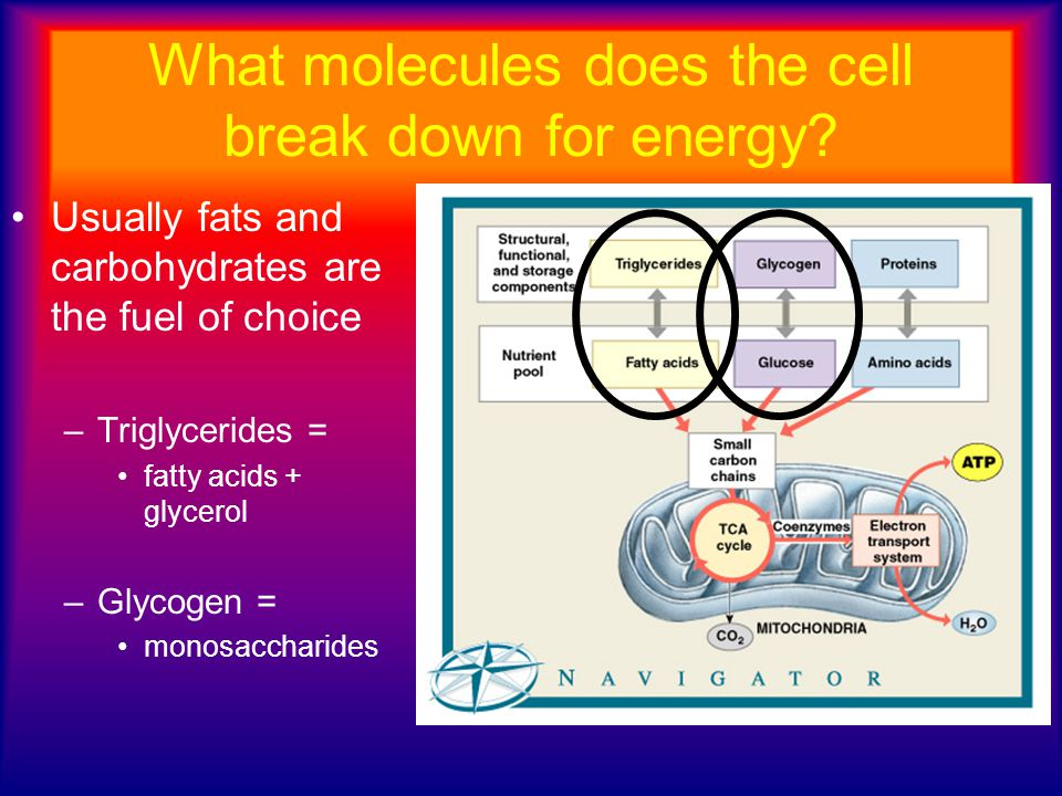 Carbohydrate Metabolism Glycolysis: always happens first.