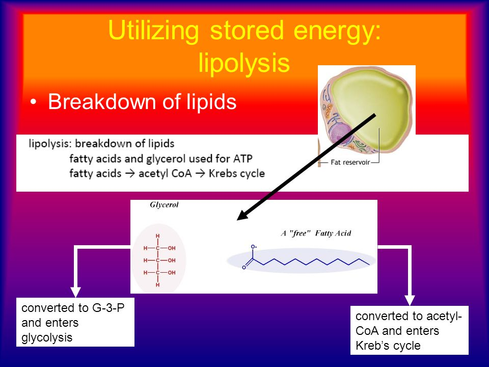 Utilizing stored energy: lipolysis Breakdown of lipids converted to G-3-P and enters glycolysis converted to acetyl- CoA and enters Kreb's cycle