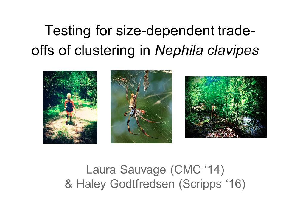 Testing for size-dependent trade- offs of clustering in Nephila clavipes Laura Sauvage (CMC '14) & Haley Godtfredsen (Scripps '16)