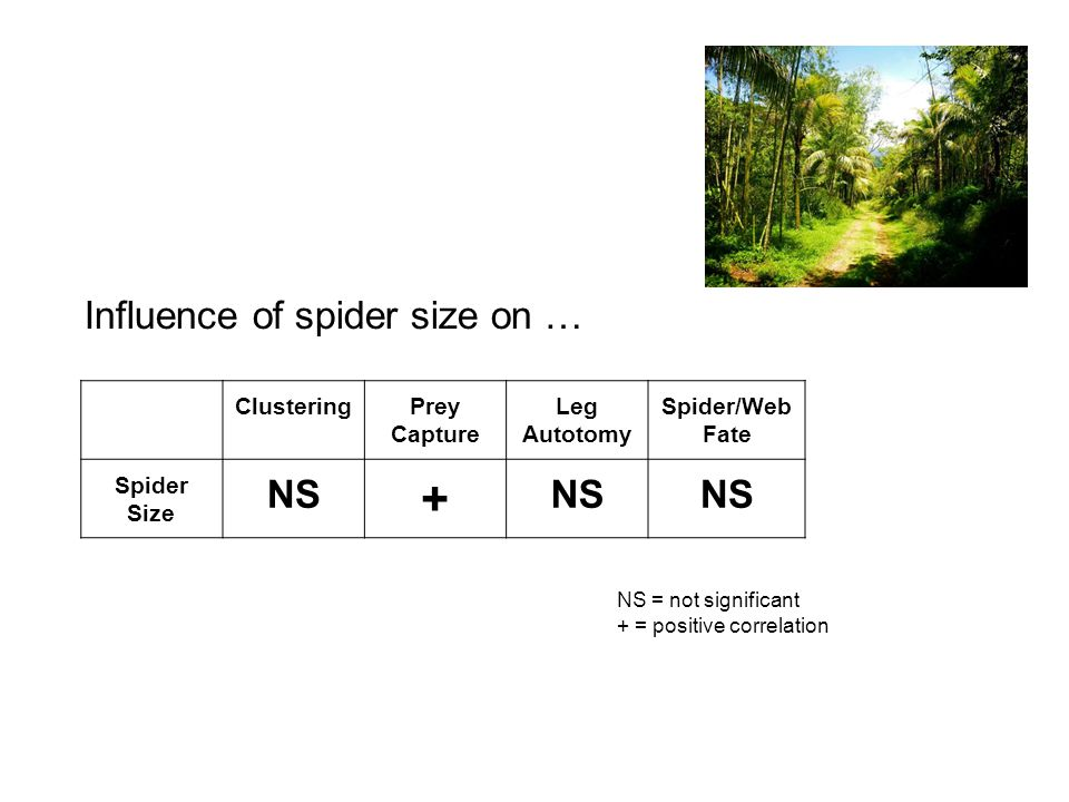 ClusteringPrey Capture Leg Autotomy Spider/Web Fate Spider Size NS + Influence of spider size on … NS = not significant + = positive correlation